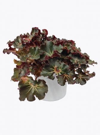 BegoniaErythrophylla 'Black Jungle'