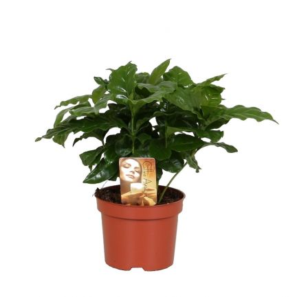 COFFEA ARABICA H25
