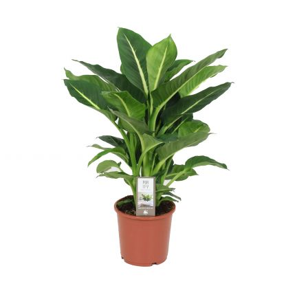 DIEFFENBACHIA 'GREEN MAGIC' H65