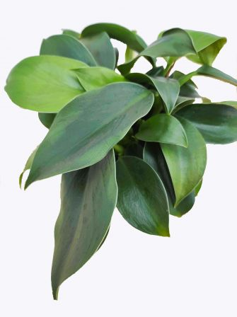 filodendron green princess