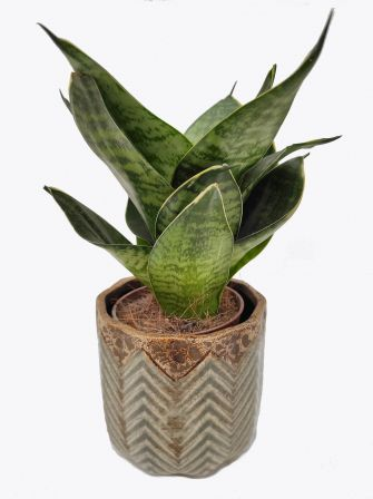 Sansewieria 'Green Hahnii' Sansevieria Trifasciata 20cm