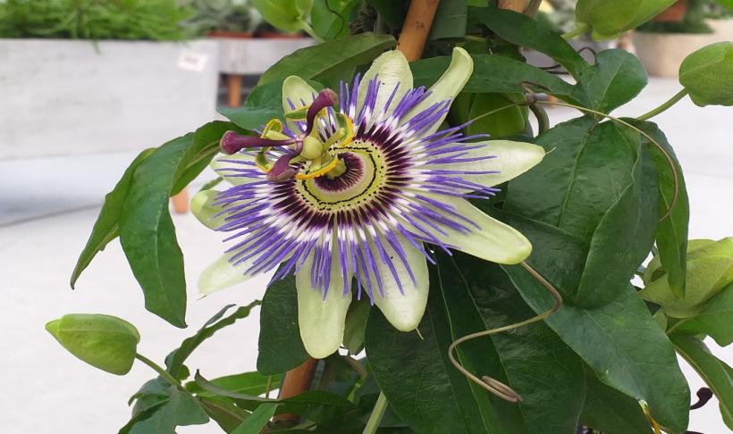 Passiflora - roślina Ameryki Łacińskiej